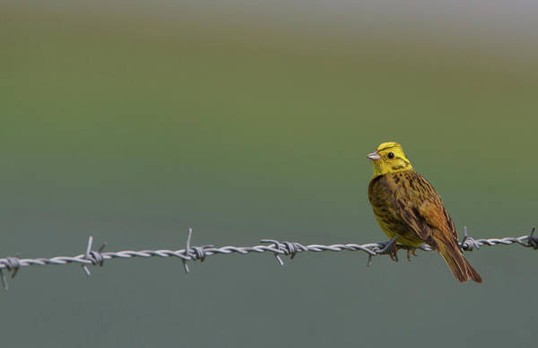 Photograph - Yellowhammer by Peter Walkden