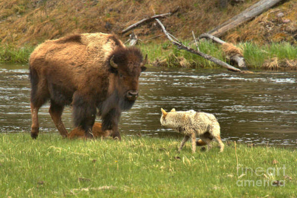 Photograph - Yellowstone Battle For Survival by Adam Jewell