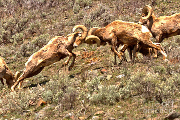 Photograph - Yellowstone Bighorn Battle by Adam Jewell