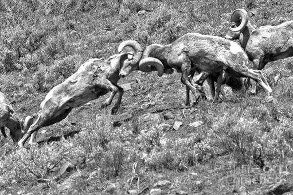 Photograph - Yellowstone Bighorn Battle Black And White by Adam Jewell