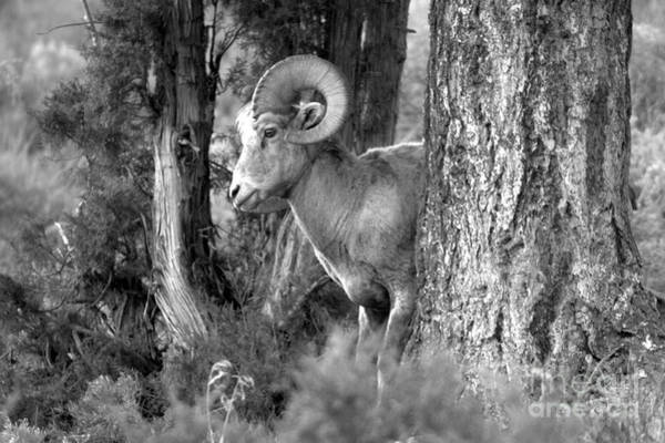 Photograph - Yellowstone Bighorn In The Trees Black And White by Adam Jewell