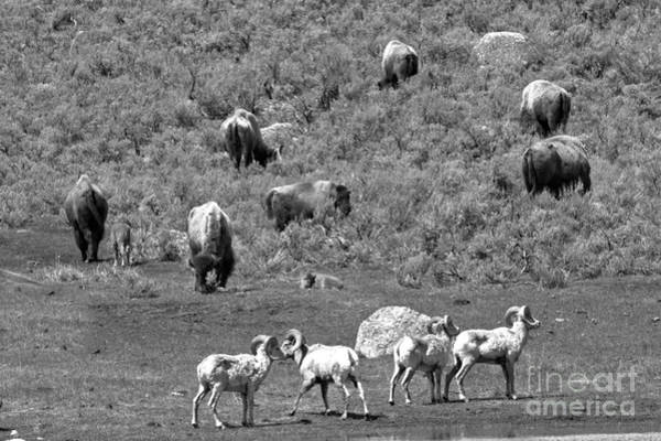 Photograph - Yellowstone Bighorns And Bison Black And White by Adam Jewell