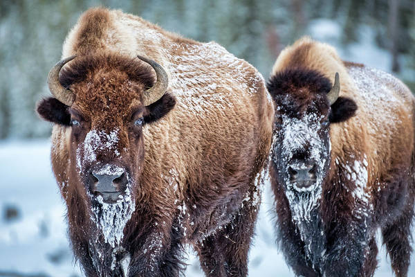 Photograph - Yellowstone Bison #2 by Stuart Litoff