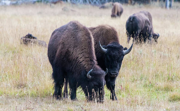 Photograph - Yellowstone Bison by Jennifer Ancker