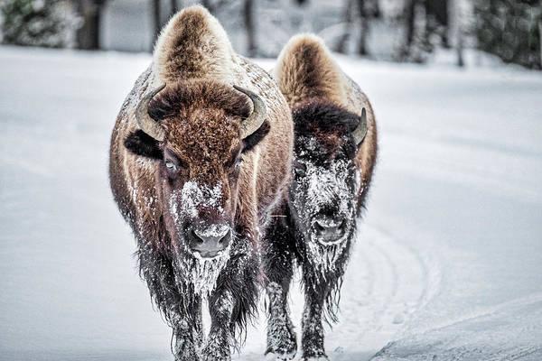 Photograph - Yellowstone Bison by Stuart Litoff