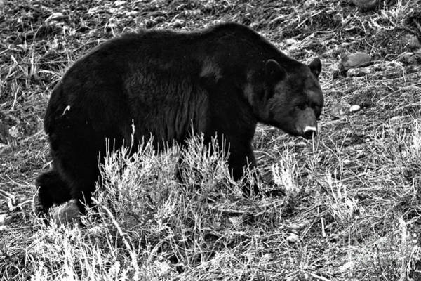Photograph - Yellowstone Black Bear In The Brush Black And White by Adam Jewell