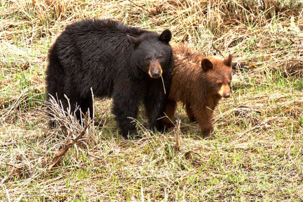 Photograph - Yellowstone Black Bears In The Brush 2018 by Adam Jewell