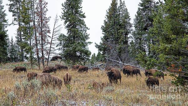 Photograph - Yellowstone Buffalo by Jim Garrison