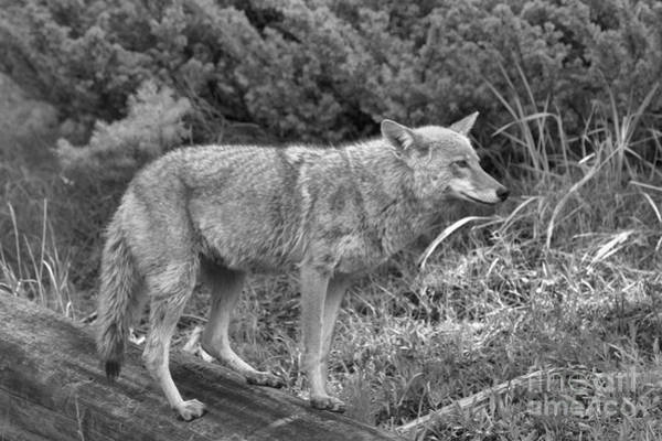 Photograph - Yellowstone Coyote Black And White by Adam Jewell