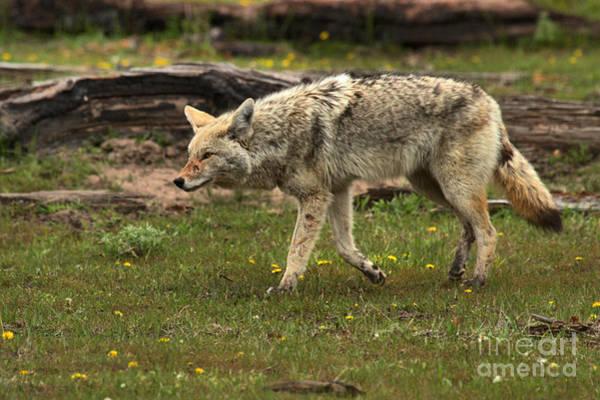 Photograph - Yellowstone Coyote Intensity by Adam Jewell