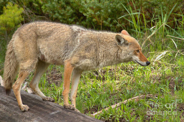 Photograph - Yellowstone Coyote Scout by Adam Jewell