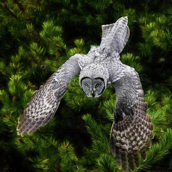 Photograph - Yellowstone Great Grey Owl by Wes and Dotty Weber