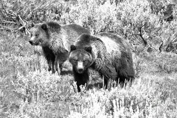 Photograph - Yellowstone Grizzlies In The Sage Brush Black And White by Adam Jewell