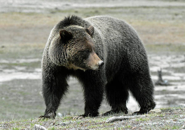 Photograph - Yellowstone Grizzly A Pondering by Bruce Gourley