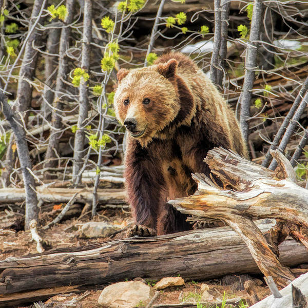 Painting - Yellowstone National Park Grizzly Bear by Christopher Arndt