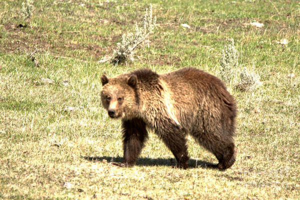 Photograph - Yellowstone Grizzly Cub 2018 by Adam Jewell