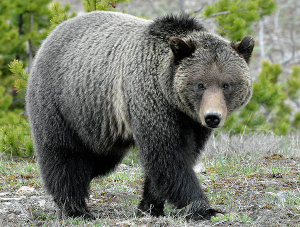 Photograph - Yellowstone Grizzly Looking At You by Bruce Gourley