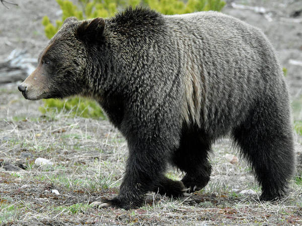 Photograph - Yellowstone Grizzly Mid-stride by Bruce Gourley