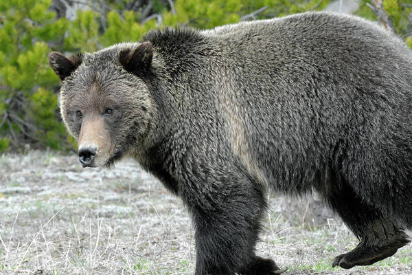 Photograph - Yellowstone Grizzly On The Hunt by Bruce Gourley