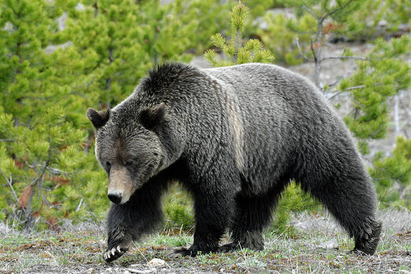Photograph - Yellowstone Grizzly Searching For Grubs by Bruce Gourley