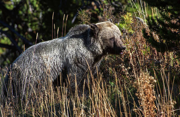 Photograph - Yellowstone Grizzly by Torrey McNeal