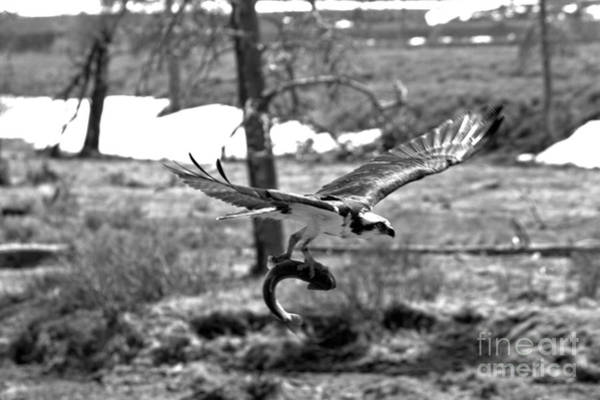 Photograph - Yellowstone Osprey Feast Black And White by Adam Jewell