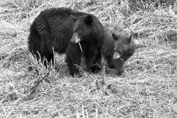 Photograph - Yellowstone Spring 2018 Black Bears Black And White by Adam Jewell