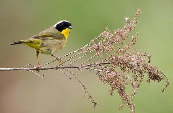 Photograph - Yellowthroat Warbler by William Jobes