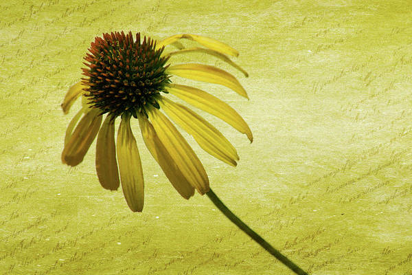 Wall Art - Photograph - Yellow Coneflower 1 by Kevin O'Hare