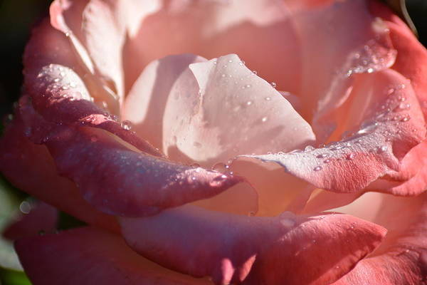 Wall Art - Photograph - Yesterday's Rose by Camille Lopez