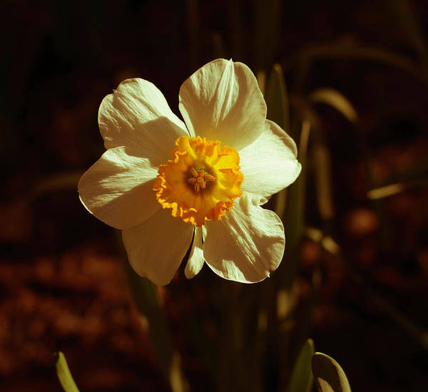 Photograph - Yesteryear Daffodil by Keith Smith