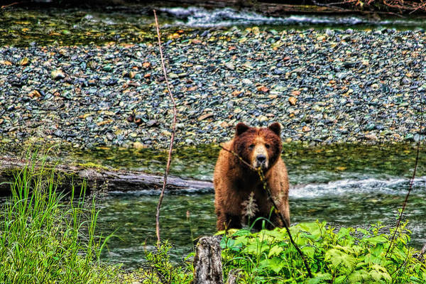 Photograph - Yikes, It's A Grizzly by Kay Brewer