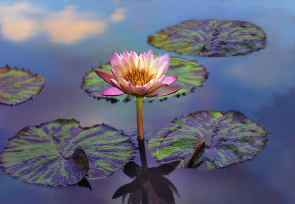 Pink Lotus Flower Photograph - Singular Sensation  by Jessica Jenney