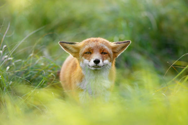 Cute Overload Photograph - Yoda - Funny Fox II by Roeselien Raimond