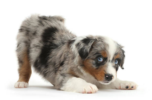 Photograph - Yoga Downward Dog by Warren Photographic
