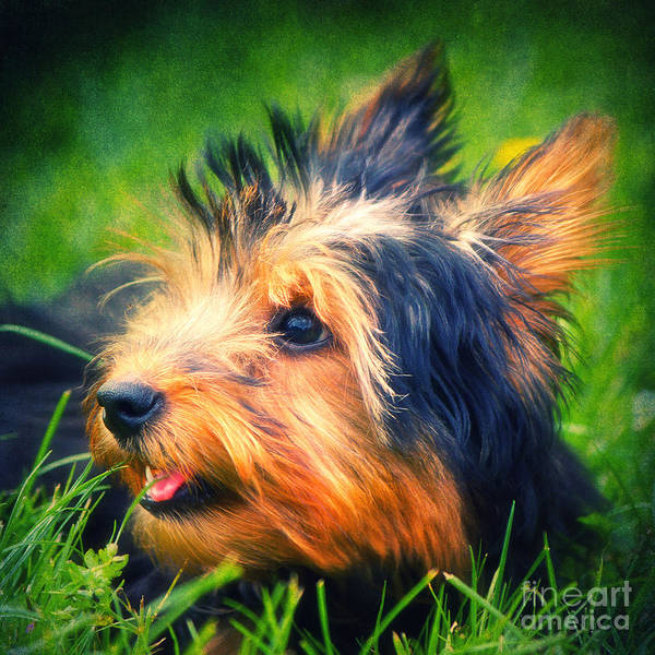 Photograph - Yorki by Angela Doelling AD DESIGN Photo and PhotoArt