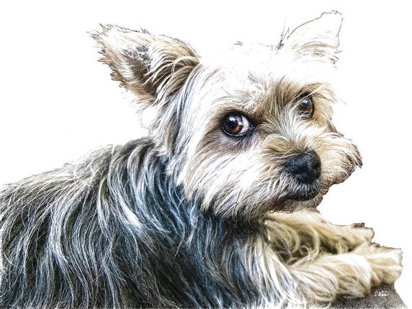 Drawing - Yorkshire Terrier - Dwp2785087 by Dean Wittle