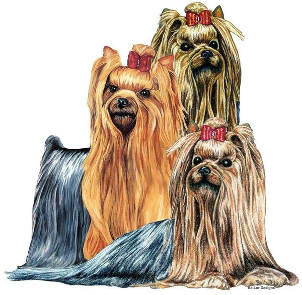 Dogs Drawing - Yorkshire Terriers by Kathleen Sepulveda