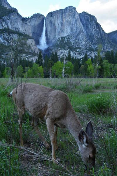 Photograph - Yosemite Falls Deer by Kyle Hanson