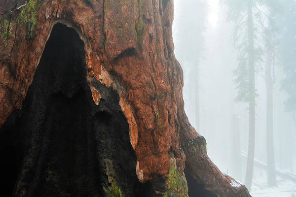 Photograph - Yosemite Giant Sequoia by Kyle Hanson