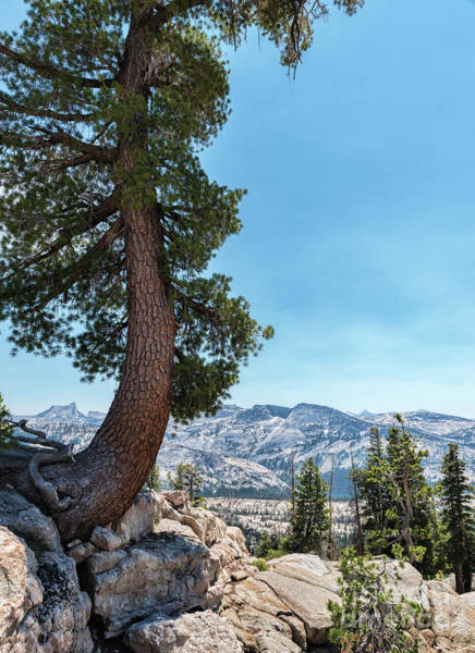Photograph - Yosemite Tree by Sharon Seaward