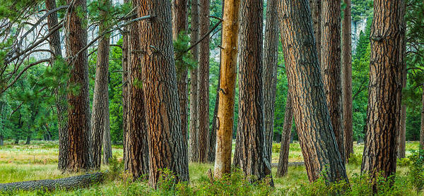 Wall Art - Photograph - Yosemite Trees by Thorsten Scheuermann