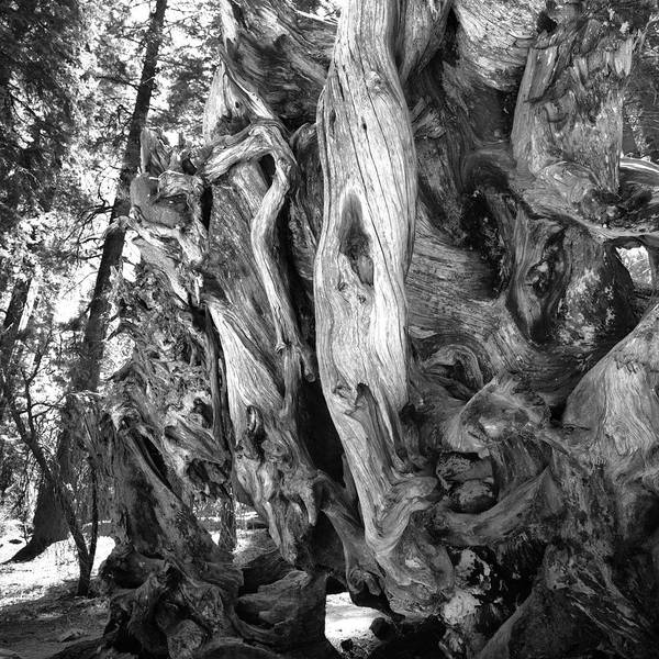 Photograph - Yosemite Trees - Twisting by Dave Beckerman