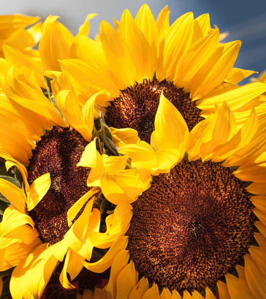 Sunflower Seeds Photograph - You Are My Sunshine by Karen Wiles