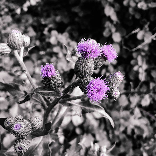 Photograph - You Know How To Thistle, Don't You Steve? by Susan Maxwell Schmidt
