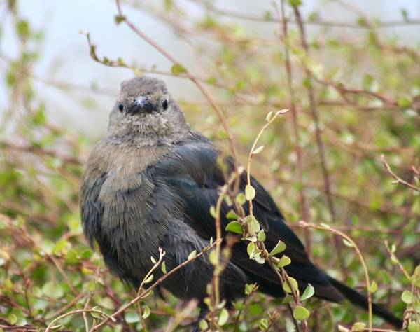Brown-headed Cowbird Photograph - You Looking At Me by DUG Harpster