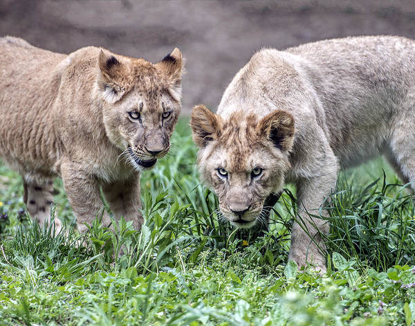 Photograph - You Talkin To Us? by William Bitman