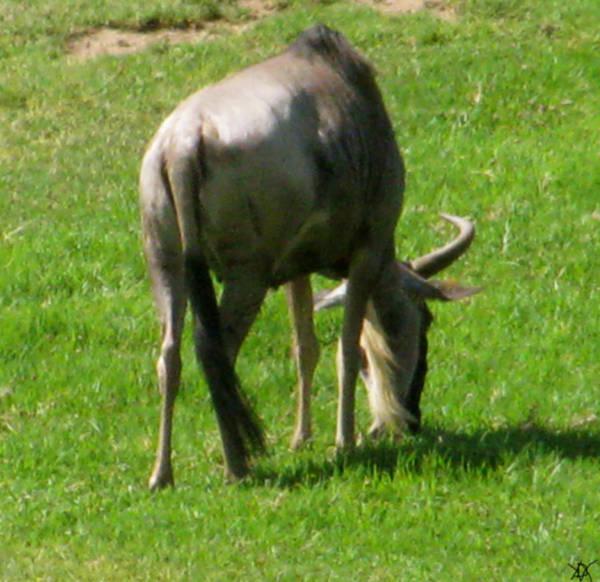 Wildlife Er Photograph - You'er Such A Wildebeest by Debra     Vatalaro