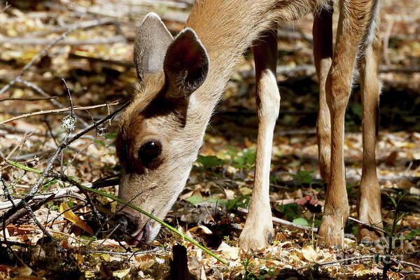 Photograph - Young Female Deer Foraging by Sue Harper