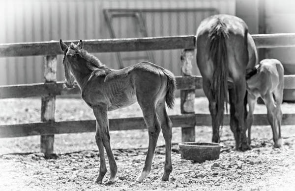Mare And Foal Photograph - Young And Hungry Bw by Steve Harrington